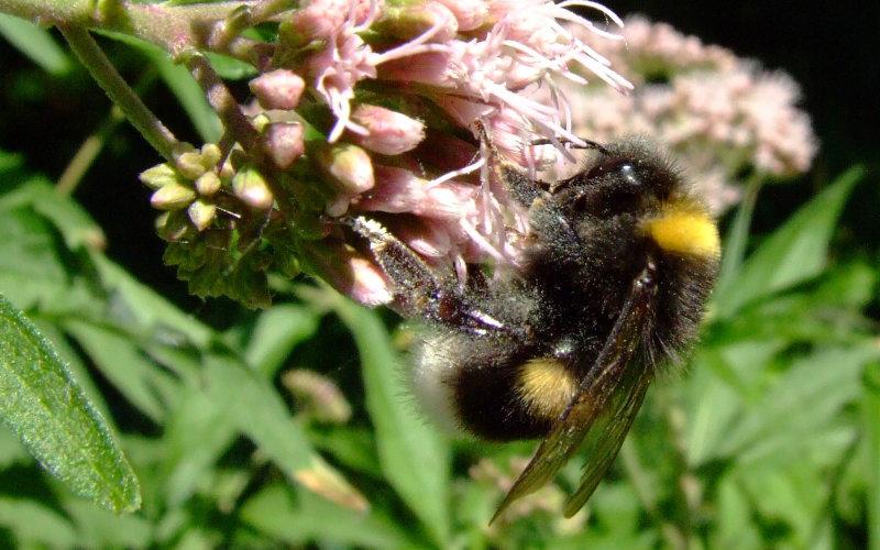 Pszczoła w pasiece w Lipce