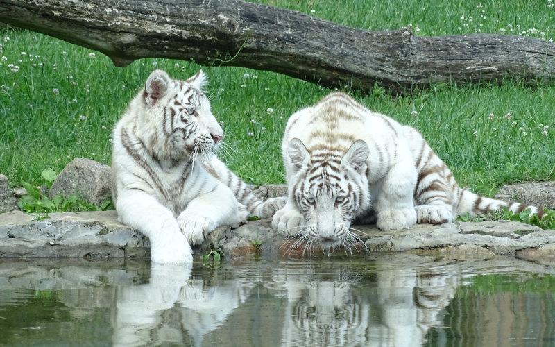 Tygrysy w ZOO Safari w Borysewie